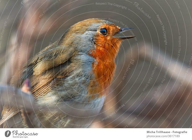 Singing robin Robin redbreast Erithacus rubecula Animal face Head Beak Eyes Feather Plumed Grand piano birds Chirping Communicate Wild animal Branch tree