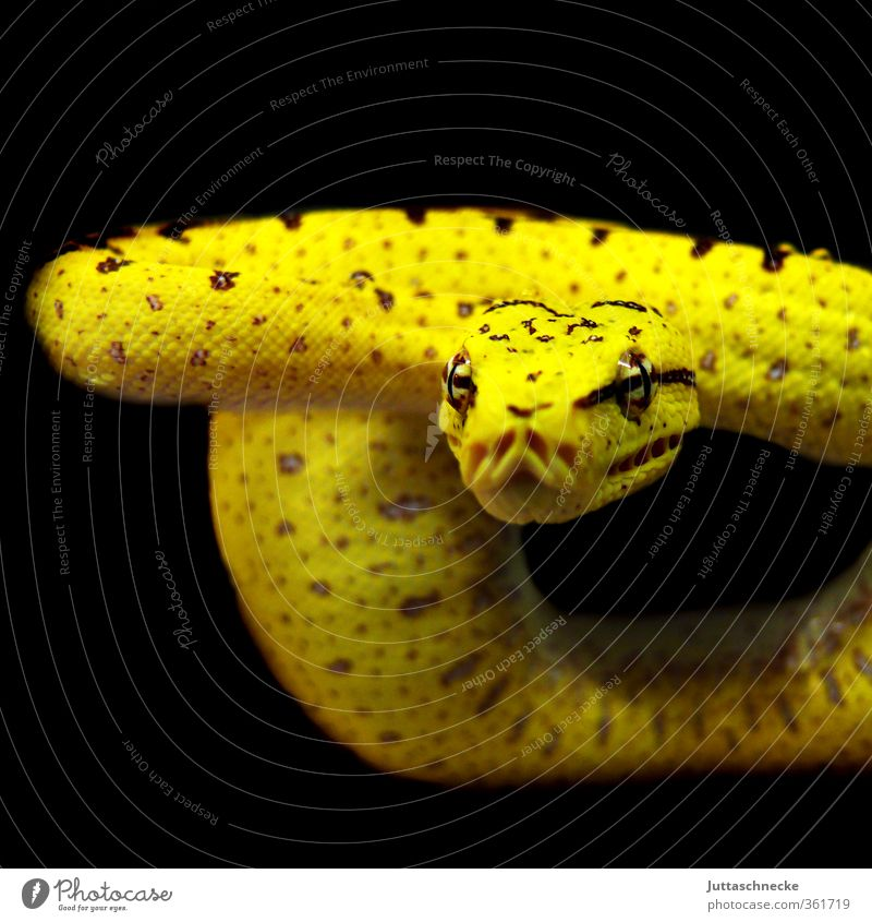 Baby tree python Pet Wild animal Snake constrictor 1 Animal Baby animal Wait Aggression Threat Exotic Yellow Watchfulness Animosity Poverty Dangerous Observe