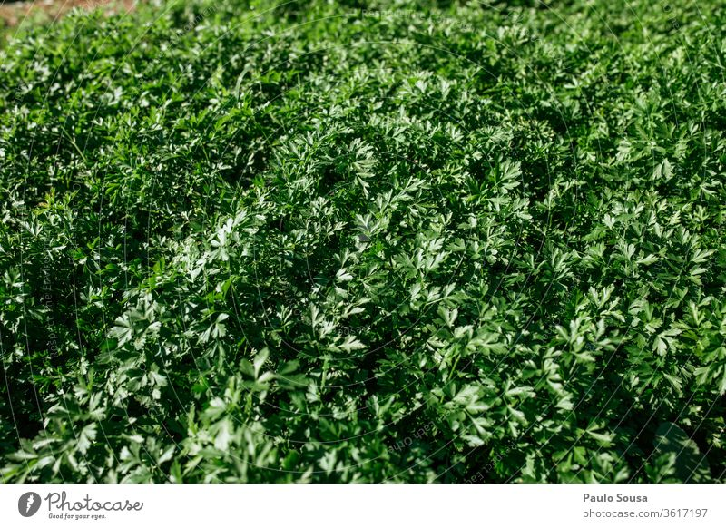 Parsley plantation Herbs and spices Organic produce Organic farming Farm Plant Plantation Vegetable Fresh Green Garden Ingredients Colour photo Food