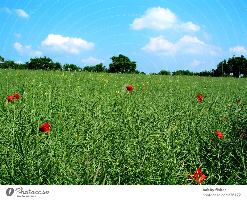 blue-green with red spots Poppy Canola Clouds Green Meadow Field Red Sky Blue