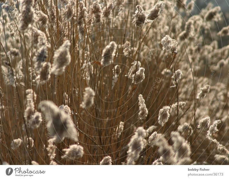 Wind Soft Common Reed Bog