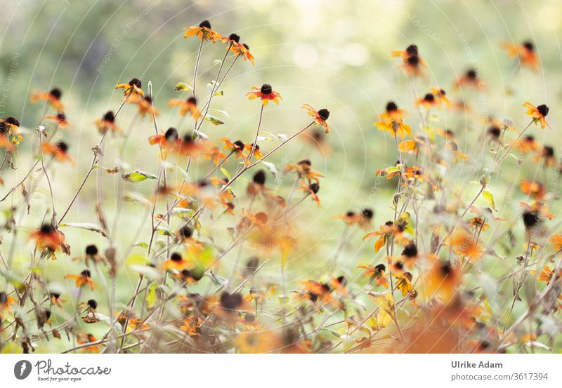 Summer garden - flowers of the coneflower (Echinacea) in sunlight echinacea Rudbeckia Sunlight Garden sea of blossoms flooded with light bleed blossoming Many