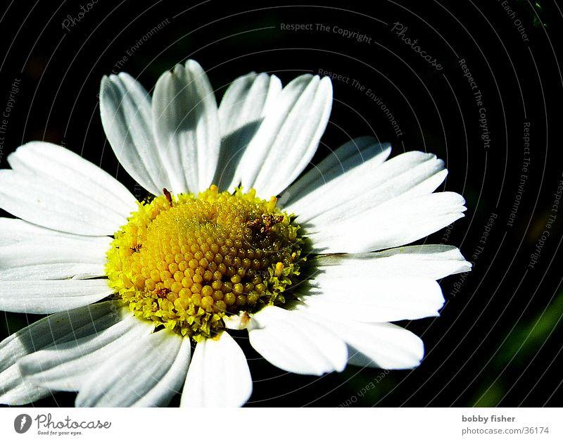 White Flower Yellow Daisy