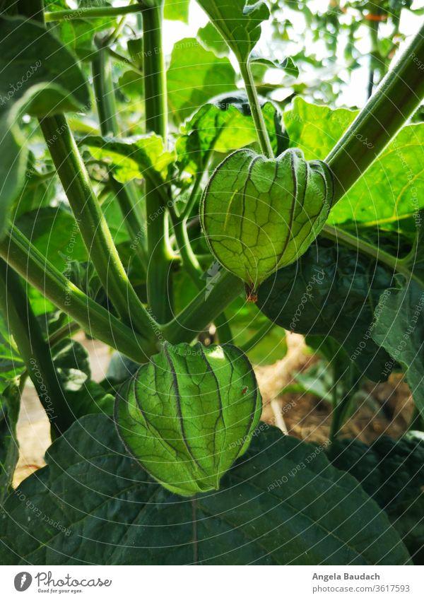 grow your own organic vegetables: Physalis Garden Vegetable garden vegetable gardening Vegetarian diet pumpkins Physalis alkekengi Organic produce Food Fresh