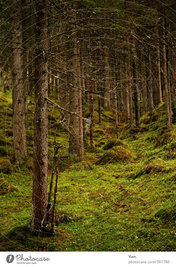 Nature Green Plant Tree Calm Forest Grass Spring Tree trunk Moss Coniferous trees Spruce Clearing