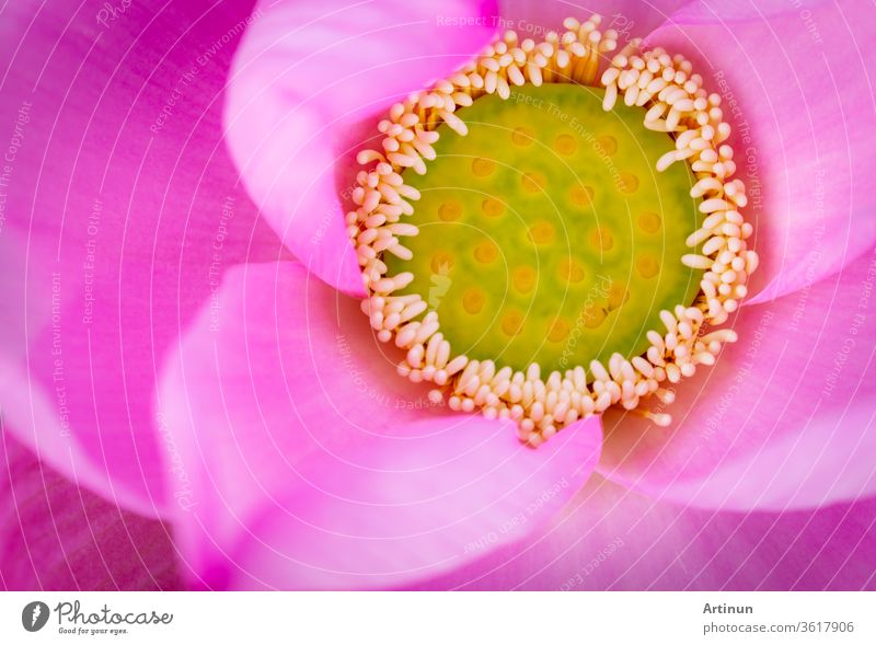 Top view of pink lotus flower. In Buddhism the lotus is known to be associated with purity, spiritual awakening and faithfulness. Aquatic plant. aquatic asia