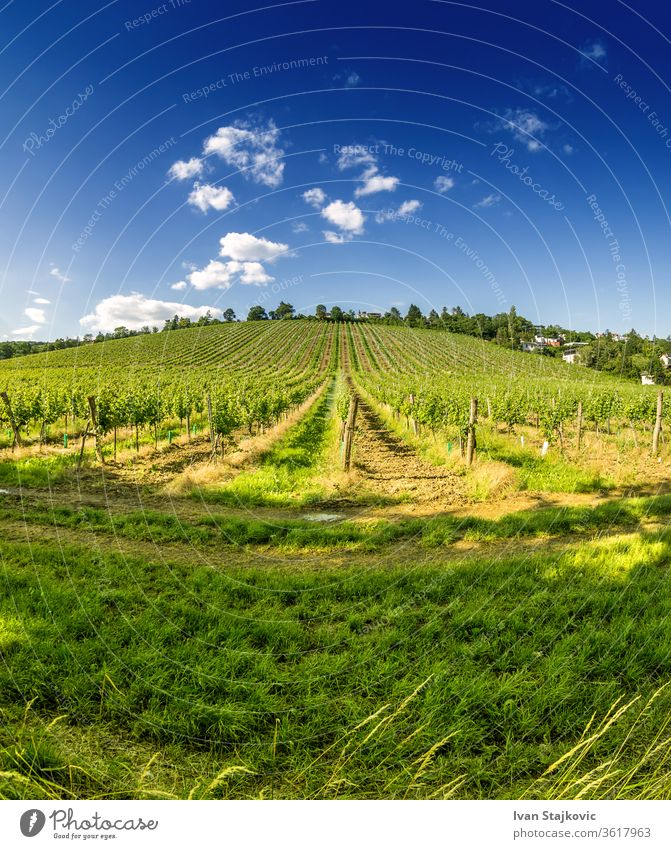 Vineyard hill in eastern Vienna Austria sky grow industry scenic sun growth growing harvest countryside vine-growing sunset vinery fruit farm blue high-coloured