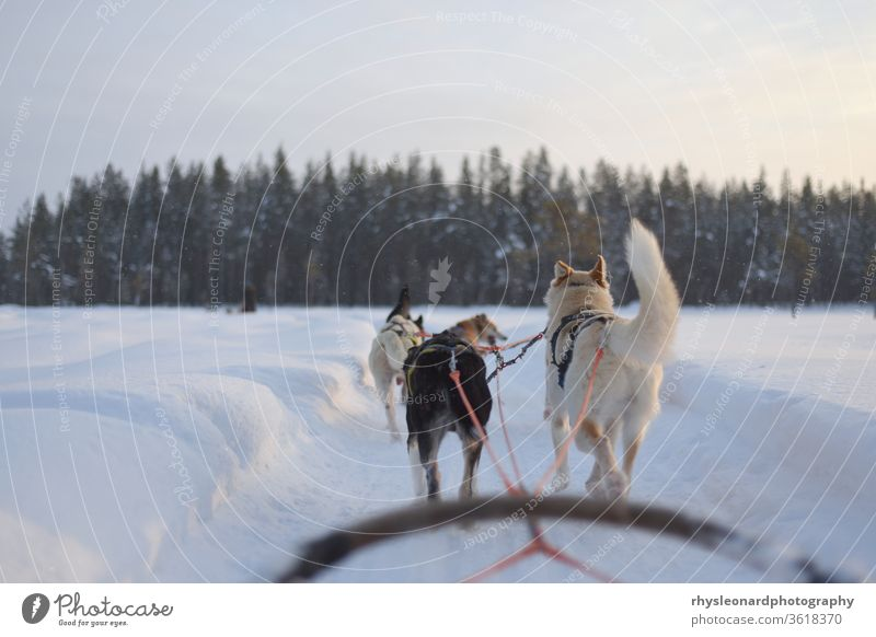 Husky sledding over a frozen lake at sunset winter sleigh snow husky animal dog sledge polar cold white active lapland forest harness carriage run musher canine