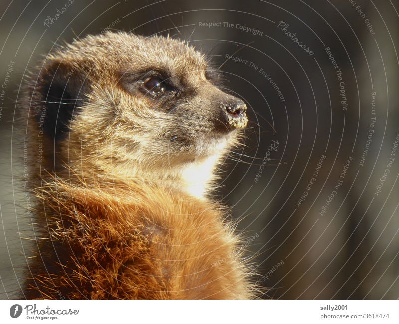 Good morning Sunday! Meerkat Curiosity inquisitorial Animal face Cute fluffy Pelt Snout Sunlight upright Observe Africa Wild animal Looking Animal portrait