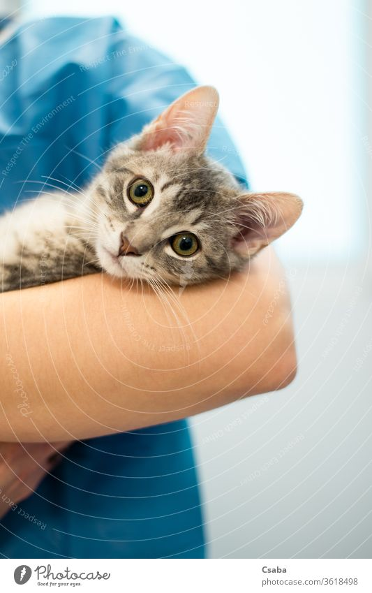 Female veterinarian doctor is holding a cat on her hands veterinary female woman animal pet kitten nurse clinic feline medical health hospital person care