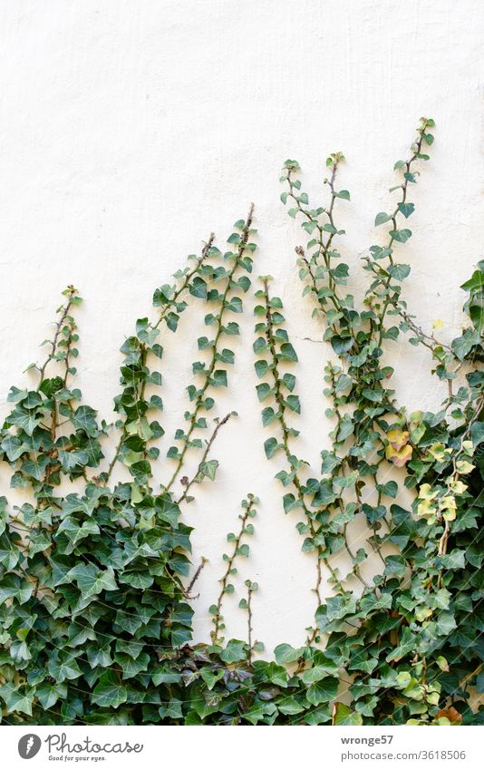 Ivy climbs up a light wall ranked vine Creeper Plant green Exterior shot Colour photo Wall (building) Wall (barrier) Tendril Leaf tendrils Deserted Growth