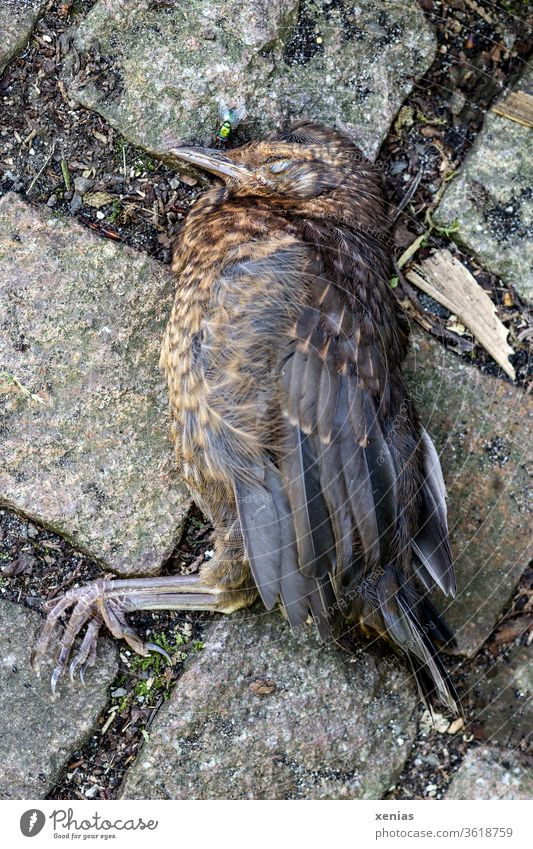 Death came to the young blackbird on quiet paws, so that she died and lay on cobblestones. The fly was already ready. Blackbird birds dead Dead animal Fly