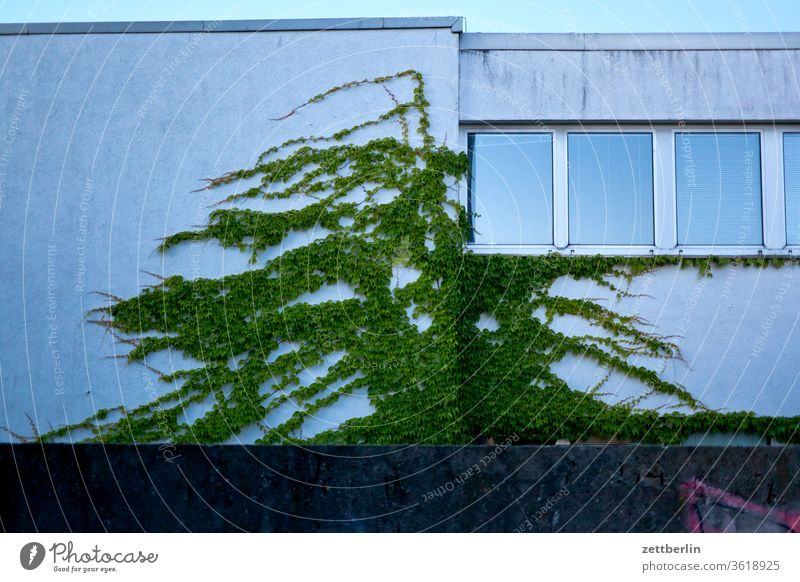 Ivy on the facade Berlin Scene urban House (Residential Structure) built Facade Window Growth Tendril green greening Evening Twilight Wall (barrier) Real estate