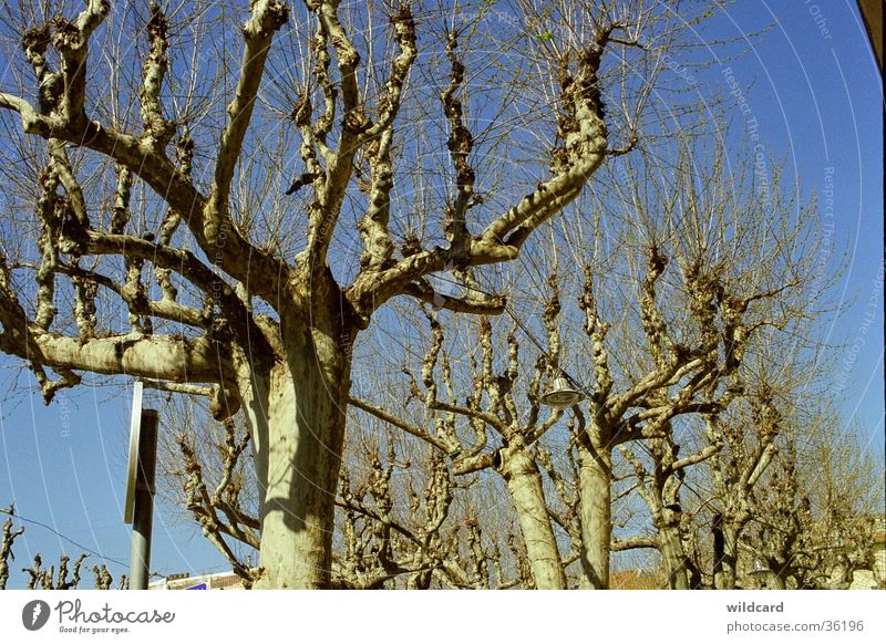 plane trees in April Southern France vence