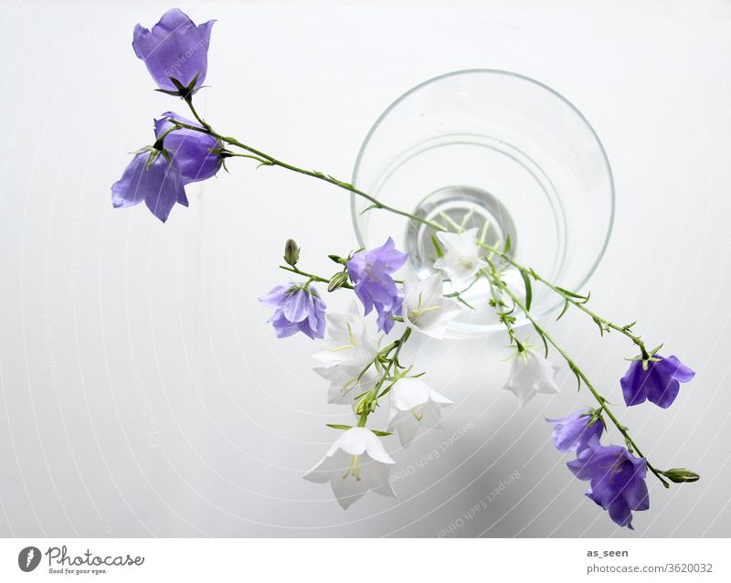 Bellflowers in vase bleed Light Shadow petals Nature spring Summer already Colour photo Blossoming Deserted Blossom leave Esthetic natural Delicate