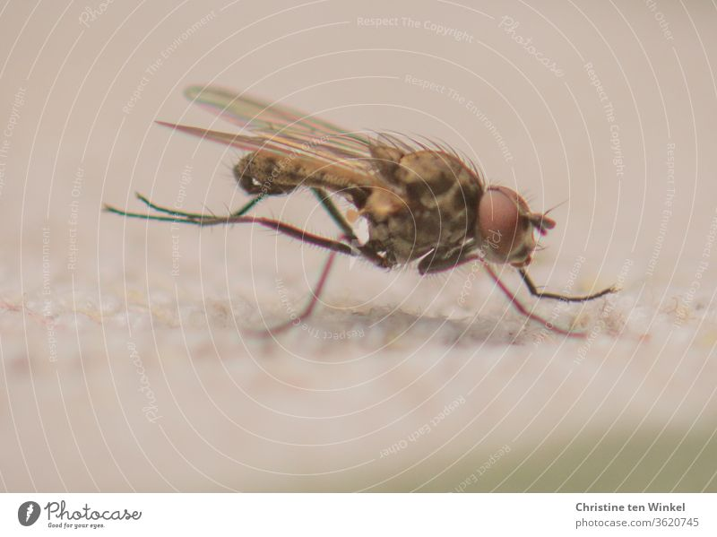A small fly sits on a light background and rubs its hind legs together for cleaning Fly Hind legs polish Sit Animal Macro (Extreme close-up) Nature Insect