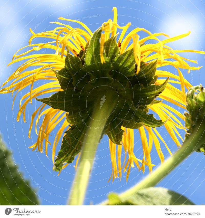 tousled - no longer quite fresh yellow summer flower from the frog's perspective in front of a blue sky with clouds flowers bleed Sunflower Stalk