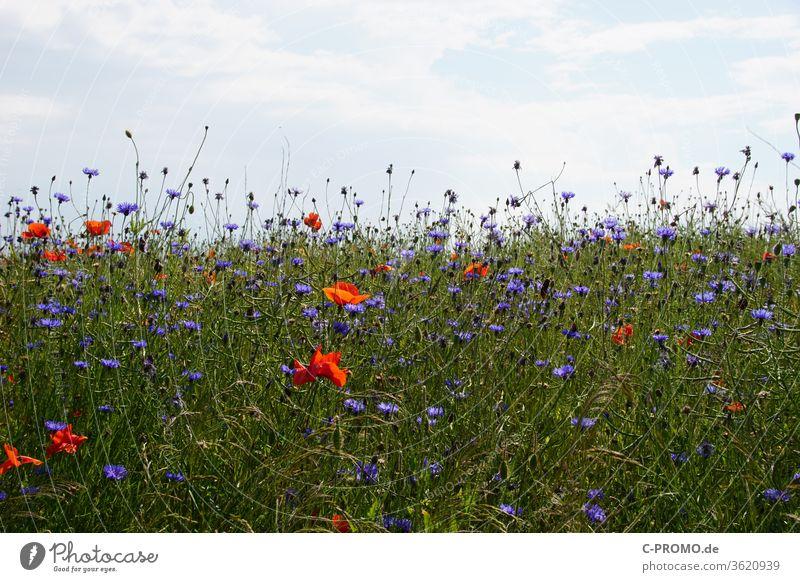 summer flower meadow Sky Flower meadow poppies cornflowers Nature sea of flowers