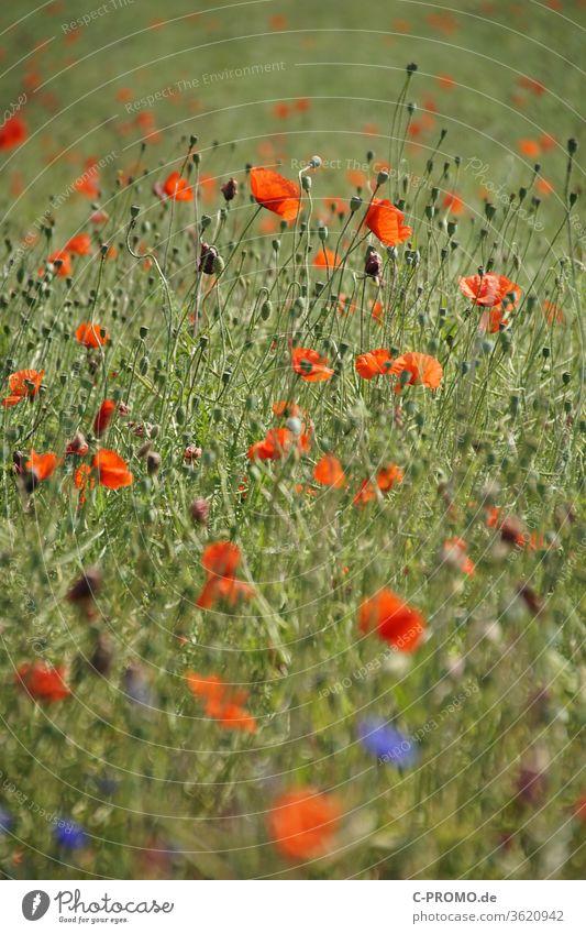 Field of poppies Poppy Poppy field Poppy blossom Poppy capsule poppy flower poppy meadow poppy bud