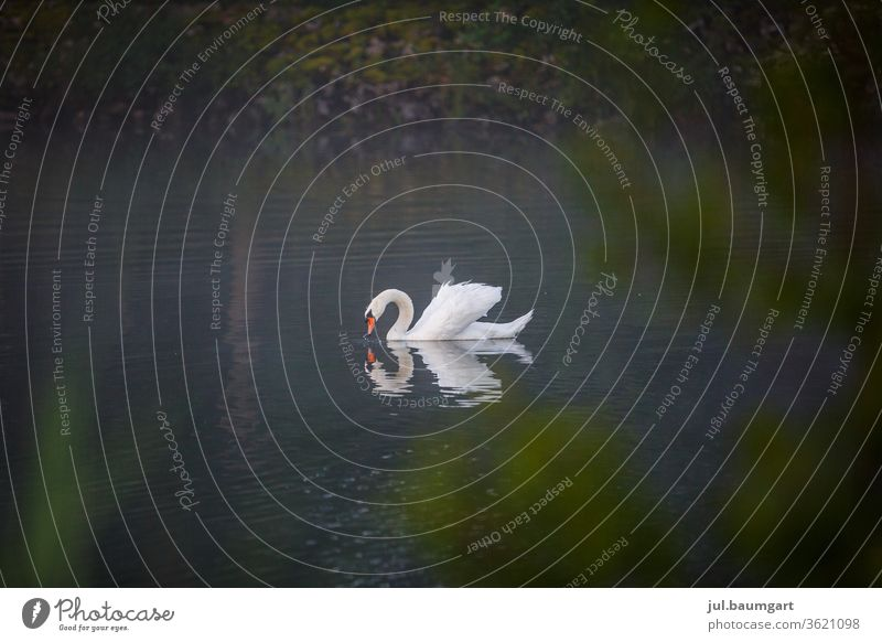 Magic of the swan in the morning Swan Moody Nature wildlife Water reflection Mirror image magic Morning