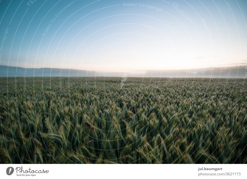 Grain field in the morning Summer Field Agriculture Agricultural crop Growth Nature Colour photo