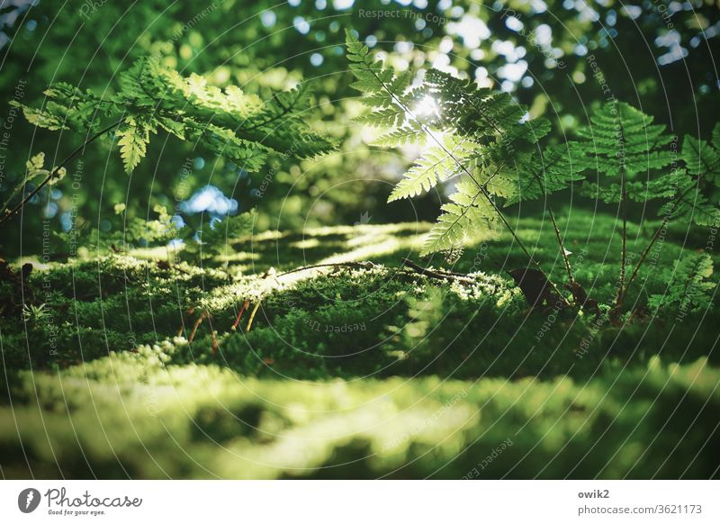 Fern in backlight Environment Nature Landscape Plant Beautiful weather bushes Pteridopsida Forest Growth green Calm Idyll Peaceful Clearing Edge of the forest