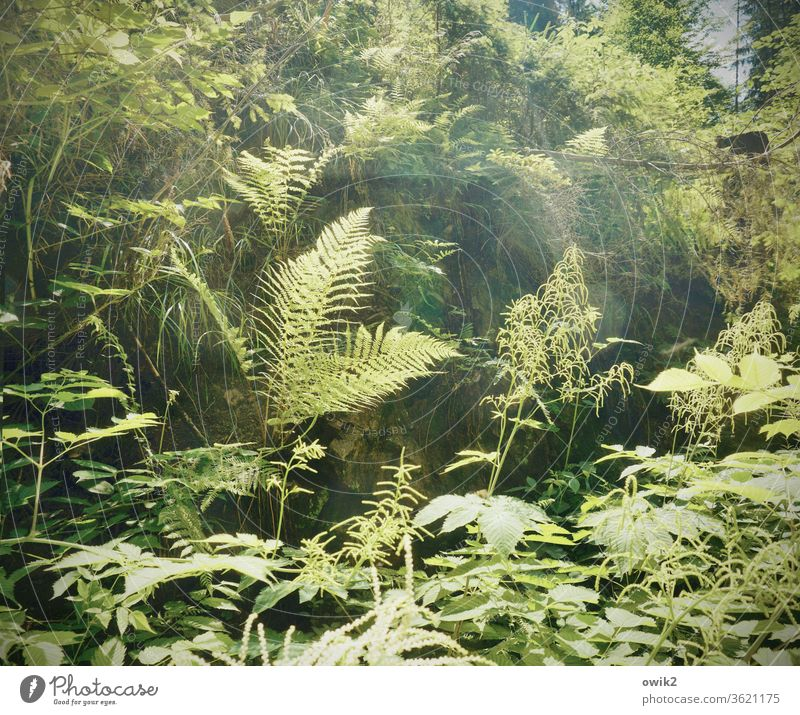 Fern in company Environment Nature Landscape Plant Beautiful weather bushes Pteridopsida Forest Growth green Calm Idyll Peaceful Clearing Structures and shapes