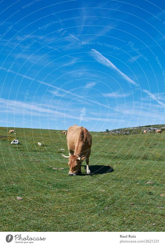 A cow lying on the grass sunbathing, rural field herding beauty cattle european livestock switzerland mountain summer grazing calf meadow bernese mountains cows