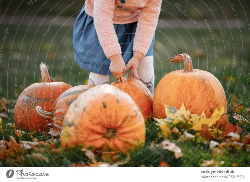 cropped photo of a little girl trying to lift a pumpkin. field with pumpkins. carved pumpkin agriculture hands holding child season colorful autumn background