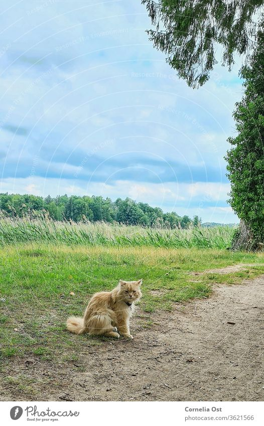 Cat sitting in the castle park under a slightly cloudy sky, in the background green reed grass . Pet Animal Colour photo Domestic cat Exterior shot