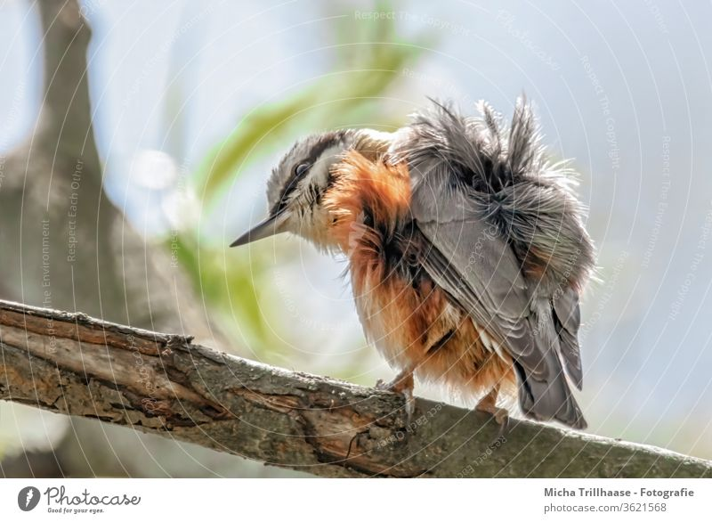Ruffled Nuthatch Eurasian nuthatch Sitta Europaea Animal face Eyes Beak Feather Plumed Grand piano Disheveled Claw birds Wild animal tree Head plumage feathers