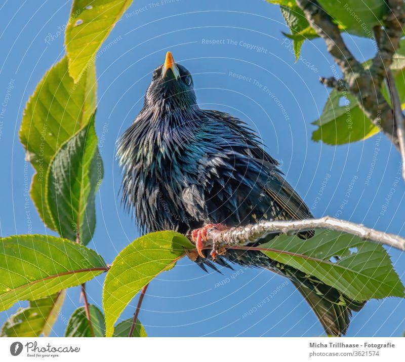 Star in a tree Starling Sturnus vulgaris Animal face birds Beak Eyes Grand piano Feather Claw Head plumage Brilliant Glittering Wild animal Nature twigs