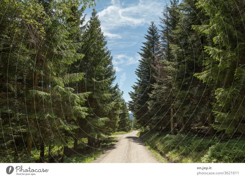 Forest path between high fir trees in good weather off Street forest path Driveway hiking trail Coniferous forest conifers firs spruces Blue sky Hiking hikers