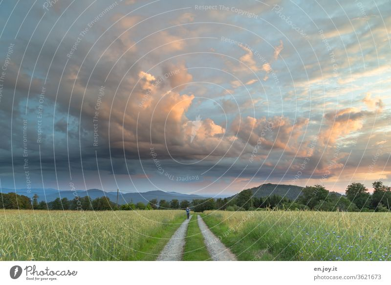 Man walks on a dirt road between cornfields under a wide evening sky with beautiful clouds illuminated by the sunset Sky Clouds off the beaten track Sunset