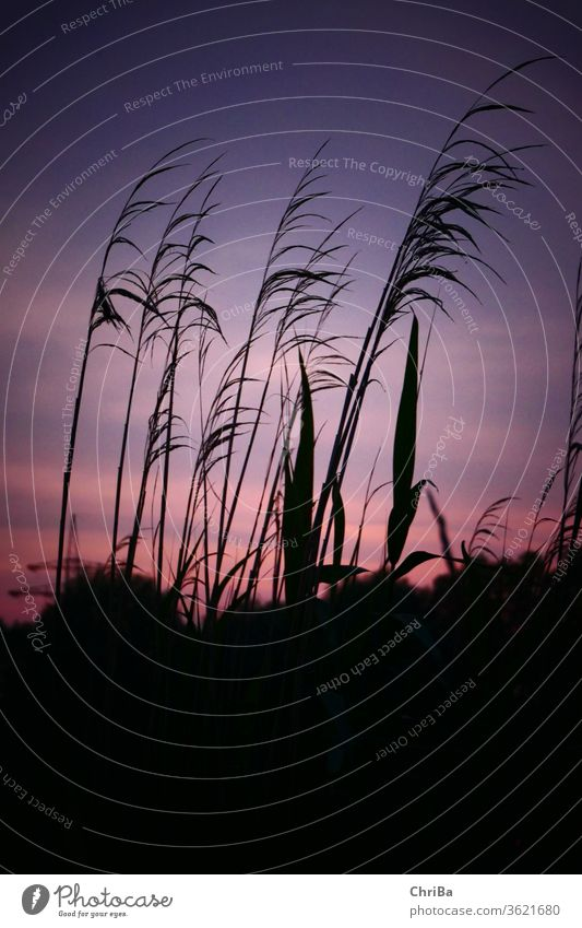 Grasses on the lake shore before evening sky grasses sunset Nature Exterior shot Landscape spring evening mood Plant Colour photo Environment Beautiful weather