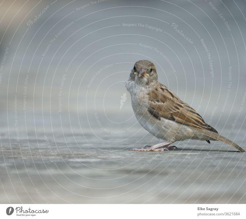 Sparrow Young bird, sparrow fledglings Exterior shot birds Feather Animal portrait Deserted Beak