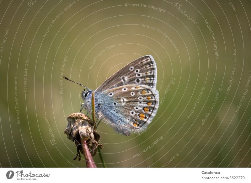 A bluebird rests on a wilted dandelion fauna Animal Insect Butterfly butterflies diurnal Animal portrait Small flora Plant lowen tooth Nature fade Summer Brown