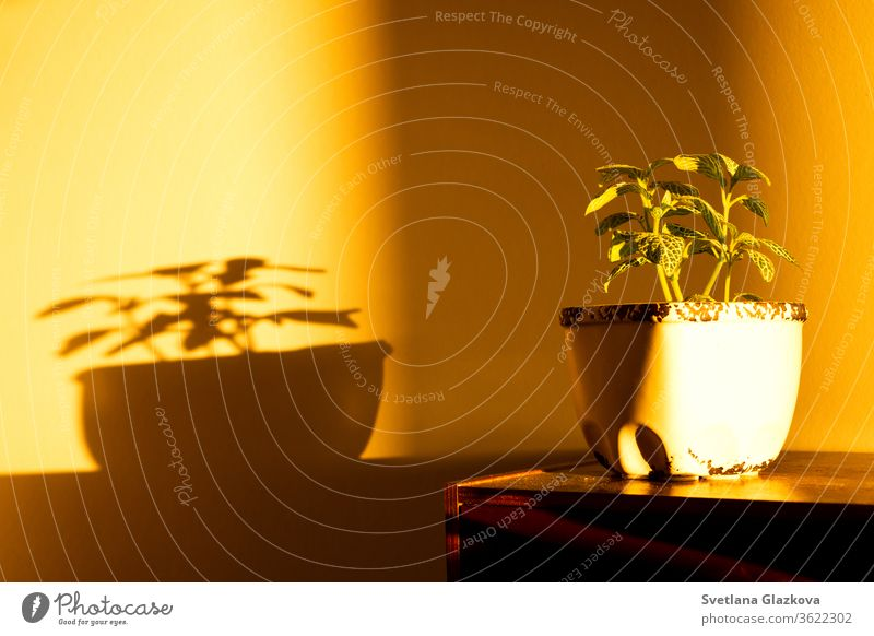 The game of sunset sun and shadow of house plants on the yellow wall home gardening flower pot play light Fittonia Hypoestes succulents cactus stay home care