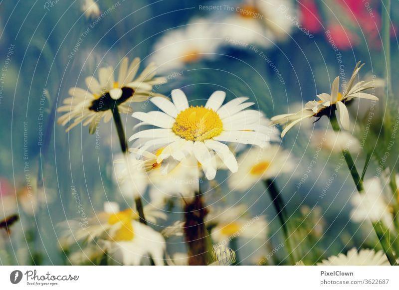 daisies flowers Nature Plant bleed Summer Garden already Blossoming flora Daisy