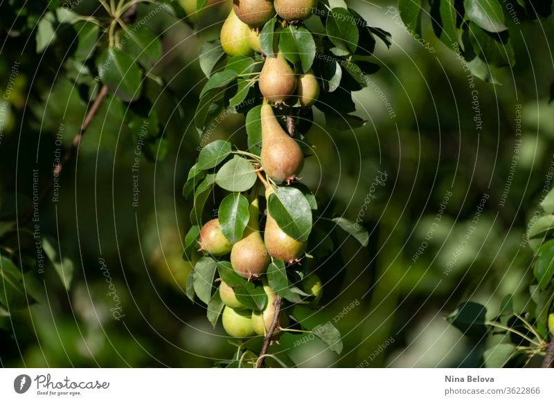 Pears bunch on branch of tree, first autumn harvest, fruits, eco gardening. Healthy living. Close up. summer leaf leaves natural nature organic outdoors plant