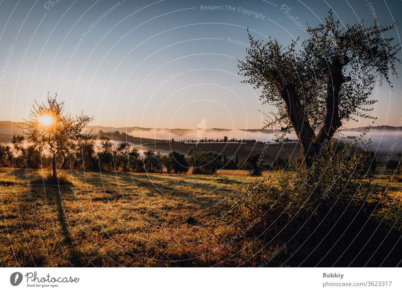 Sunrise in the olive grove in Tuscany Olive tree Olive grove early Fog Italy Mediterranean Exterior shot Colour photo Nature Deserted Landscape Sunlight