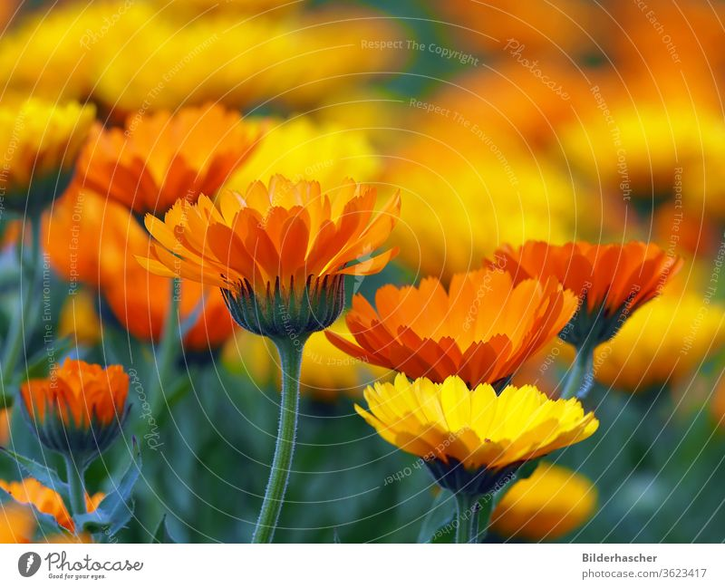 Many colourful marigold blossoms in the garden medicinal plant marigolds Marigold Flower meadow calendula officinalis sea of flowers herbal medicine