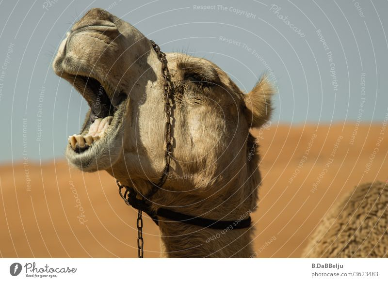 boring... ...yawning dromedary in the Omani desert. travel Desert Dromedary tired boringly Sand Camel Vacation & Travel Animal Exterior shot Nature Hot