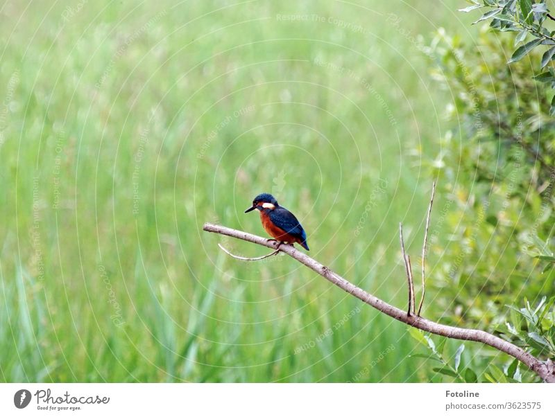 A small kingfisher sits on a dead branch and looks for his next little fish birds Animal Exterior shot Colour photo 1 Wild animal Nature Environment Deserted