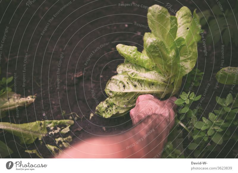 Man harvests salad and reaches for it with his hand Lettuce Harvest reap by hand Pick cut Ground Earth grow self-catering Greenhouse salubriously Sustainability