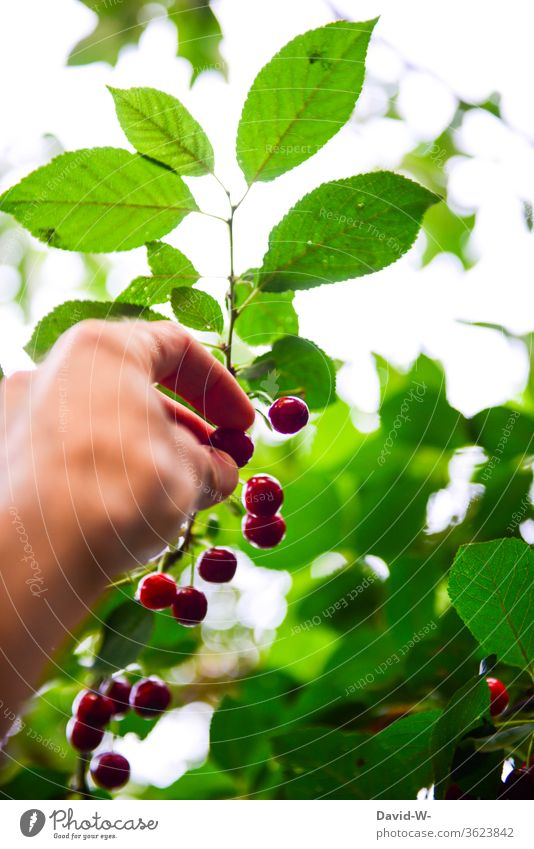 ripe cherries are picked from the tree Pick by hand plucks Cherry Red salubriously vitamins Vitamin-rich Mature Delicious Juicy Fresh reap Harvest self-catering
