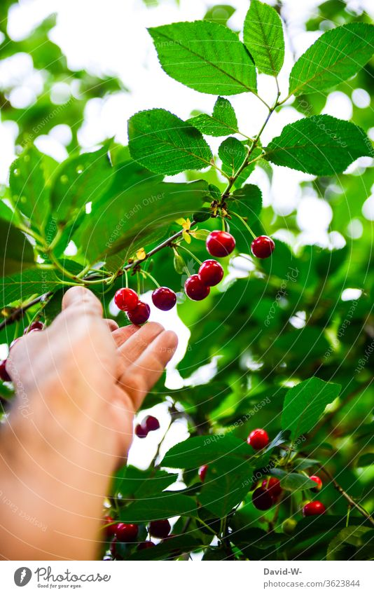 Picking cherries - hand picking a ripe cherry from the cherry tree by hand plucks Cherry Red salubriously vitamins Vitamin-rich Mature Delicious Juicy Fresh