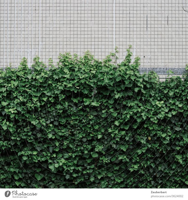 Ivy on a small tiled white wall of a house sorted according to the rule of thirds Wall (building) diamonds small-minded green Plant Tendril Growth Facade
