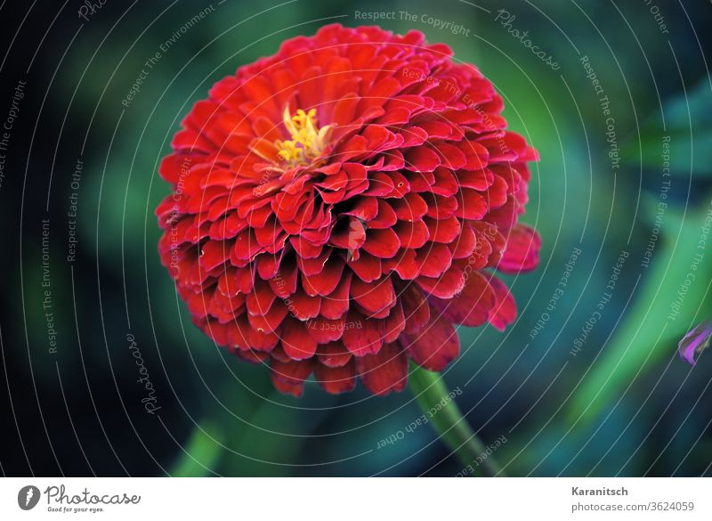 A red zinnias blossom against a green background. composite flowers bleed asteraceae garden flower Ornamental plant Summer luminescent colors Red petals flora