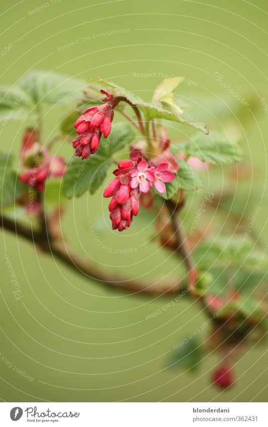 Beautiful Green Summer Red Flower Leaf Blossom Pink Bushes Sleep Twig Foliage plant Faded Wild plant Oversleep